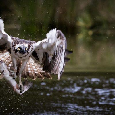 osprey-4142730_1920